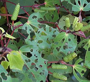 Kawakawa Balm made from these leaves